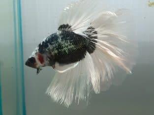 Halfmoon Fancy Black Pink Male betta fish — Live fish from Thailand