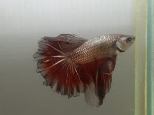 Halfmoon Fancy Red Copper Betta Fish — Live fish from Thailand