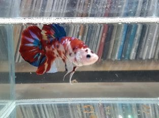 Halfmoon Plakat Giant Betta Fancy Multicolor — Live fish from Thailand