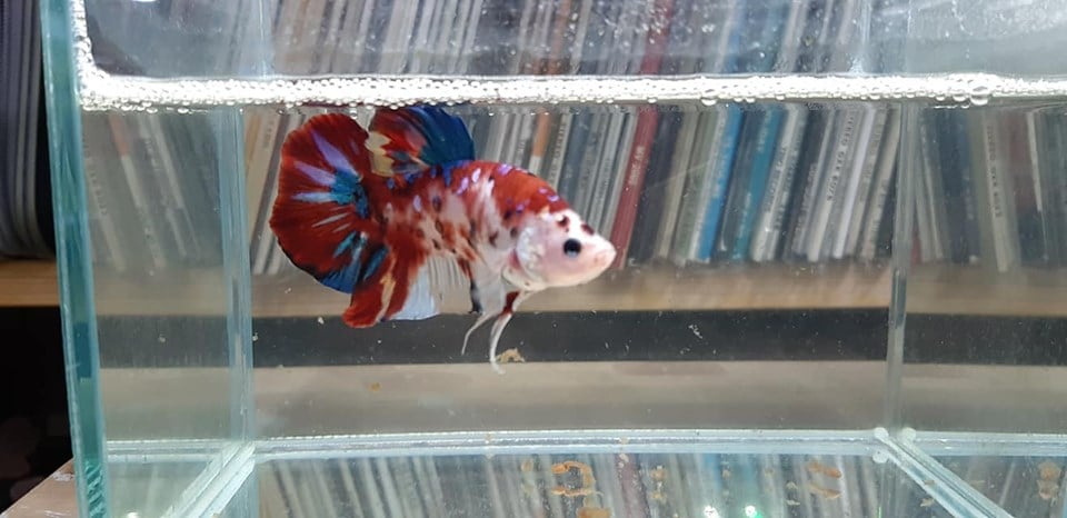 Halfmoon Plakat Giant Betta Fancy Multicolor - Live fish