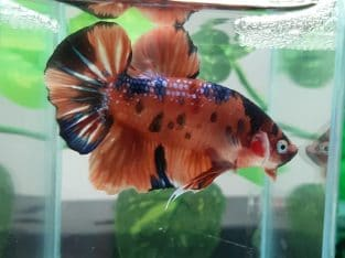 HMPK Plakat Galaxy Tiger oragne — Live fish from Thailand