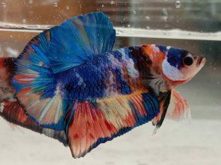 HMPK Male Multicolor Regular Size