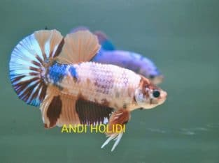 Fancy Giant Betta Body 4.85 cm