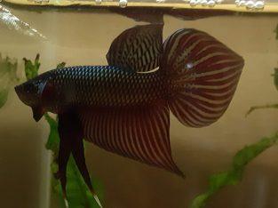 Wild Betta Smaragdina COPPER color MALE SPADE TAIL — Live betta fish from Thailand