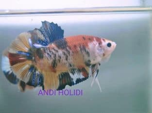 Giant Fancy Betta Fish For Sale – Video Available
