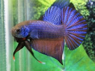 Big Tail Guitar Blue Wild Betta