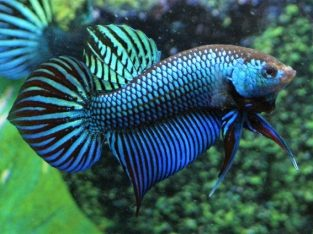 Mahachai Betta For Sale