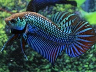 5 fish Mahachai Wild Betta For Sale