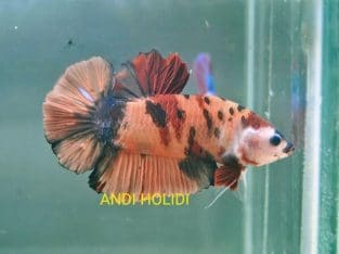 Orange Koi Giant Betta Fish Body 5.8 cm