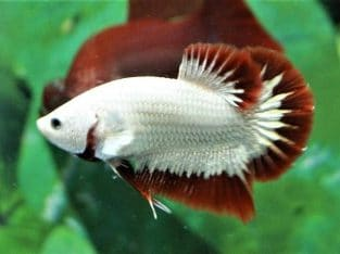 Red Dragon HMPK – Red Dragon Betta Fish