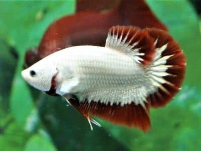 Red Dragon HMPK – Red Dragon Betta Fish