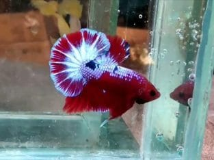 Red Fancy HMPK For Sale – Video Available