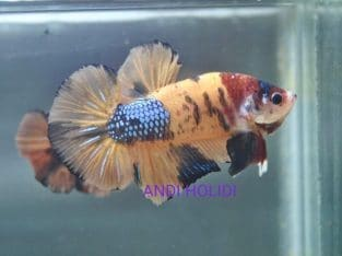 Yellow Fancy Giant Betta Body 5.3 cm