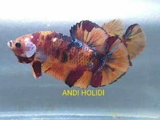 Fancy giant betta for sale – Body 5 cm
