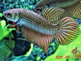 Betta Smaragdina Copper #SCOP-001