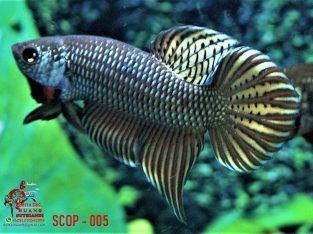 Betta Smaragdina Copper #SCOP-005