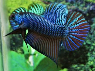 Big Tail Blue Betta Smaragdina For Sale