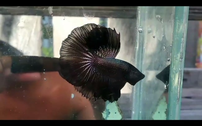 Black Halfmoon Betta For Sale – Video Available