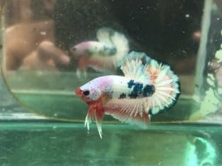 Fancy Halfmoon Plakat For Sale – Video Available