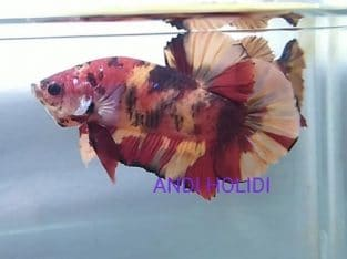 Fancy red giant betta body 5 cm for sale
