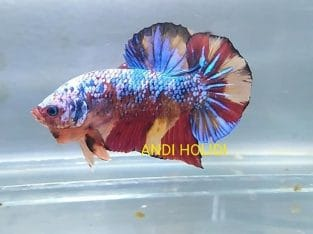 Galaxy fancy giant betta for sale