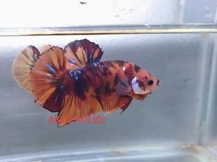 Orange fancy giant betta for sale