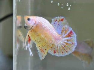 Rare betta fish colors for sale