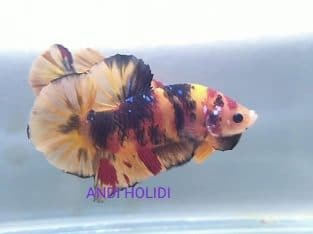 Yellow fancy giant betta for sale