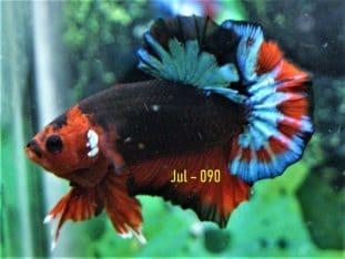 Fancy HMPK For Sale #Jul-090