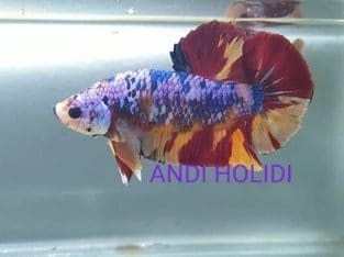 Giant candy betta for sale