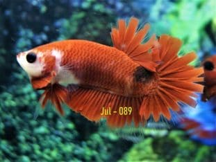 Red Fancy HMPK For Sale #Jul-089