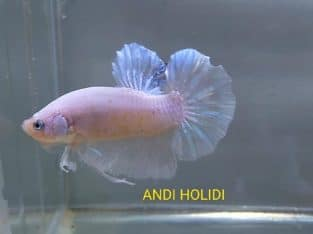 White Dragon Giant Betta – Video available