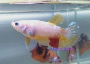Yellow Fancy Female Giant Betta for sale