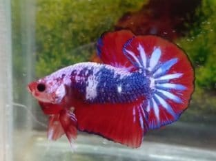 OHMPK Male Red Fancy Big Tail