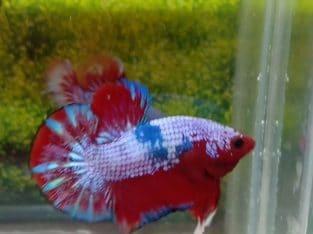 HMPK Male Red Fancy