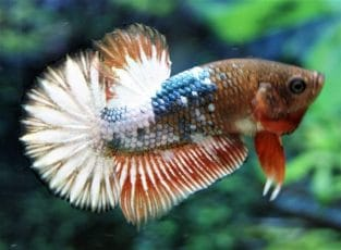 Search - Sell & buy betta fish