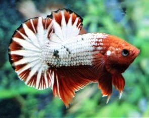 Fancy Halfmoon Plakat – Fancy Betta
