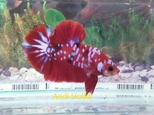Galaxy Red Halfmoon Plakat For Sale