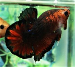 Hellboy Red Fancy Halfmoon Plakat
