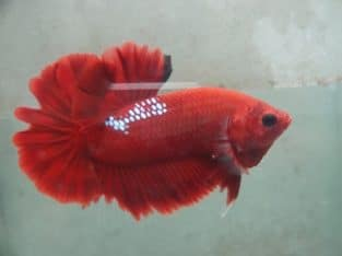 Fancy Red Halfmoon Plakat For Sale