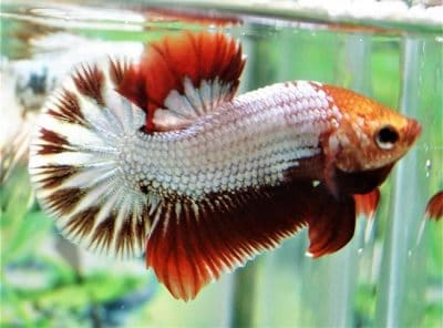 White Red Halfmoon Plakat For Sale