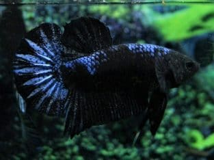 Black blue HMPK code09