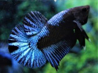 Pair Blue Black Halfmoon Plakat