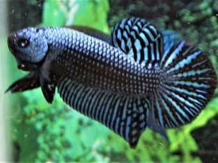 Grey Wild Betta 7 Month – Video Available