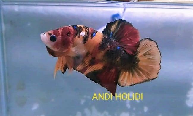 Multicolor Giant Betta Fish For Sale