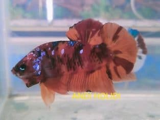 Red Fancy Giant Betta For Sale