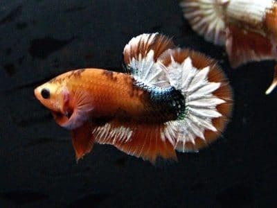 Star tail orange HMPK for sale