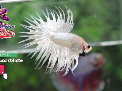 Crown tail full white no wash for sale
