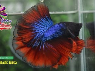 Halfmoon rosetail blue-red for sale