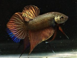 Betta Smaradigna Copper – Video Available